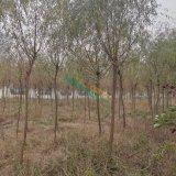 垂柳,4-10公分垂柳供应,江苏丁伙垂柳