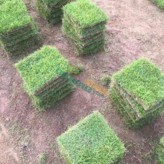 马尼拉草坪价格