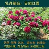 百园红霞牡丹