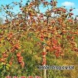 冬红果海棠