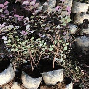 红花继木容器苗