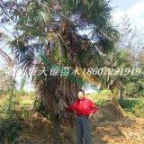 5米棕榈苗