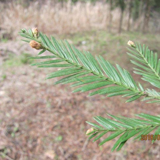 北美红杉苗