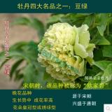 豆绿牡丹花苗 绿色系
