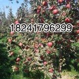 红色之爱苹果苗