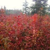 沼生红栎,红橡树