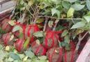 冠幅30花叶珊瑚毛球