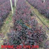 红叶李扦插苗