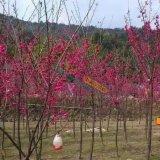 阿里山樱花,台湾山樱花1-8cm
