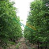 8-15公分池杉树苗,浙江池杉价格