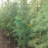 5-12公分池杉树苗价格,池杉基地