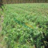 2-5公分池杉小苗价格