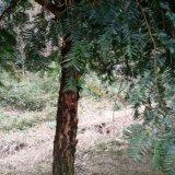 红豆杉15公分