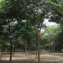常年供应2-30公分榉树,榉树最新价格