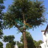 5公分朴树,朴树参考价格