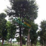 18公分全冠移栽榉树价格