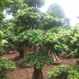 造型榕树,榕树桩头,价格1000