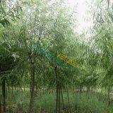 常年供应2-20公分垂柳