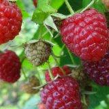 树莓苗 双季大果树莓苗