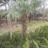 H1米棕榈价格,江苏棕榈供应