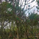 25公分朴树价格,成都朴树