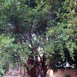 售十二年份榕树