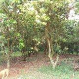 21年树龄荔枝树,仅限海南顾客购买