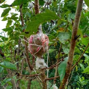 贵州玛瑙红樱桃树苗