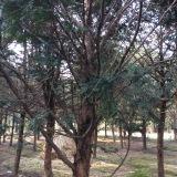 地径15公分红豆杉