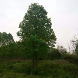 南京马褂木价格,南京杂交马褂木价格,马褂木图片信息