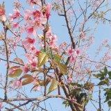 樱花、粉红色樱花、精品樱花、早樱