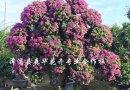 大柚子树多少钱一棵 福建柚子树苗价格