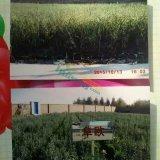 大果沙棘扦插苗.二年移植苗