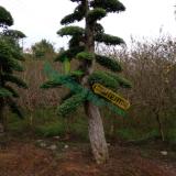 20公分造型椤木石楠 40公分造型红桎木