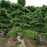 小叶榕桩头绿化树盆景