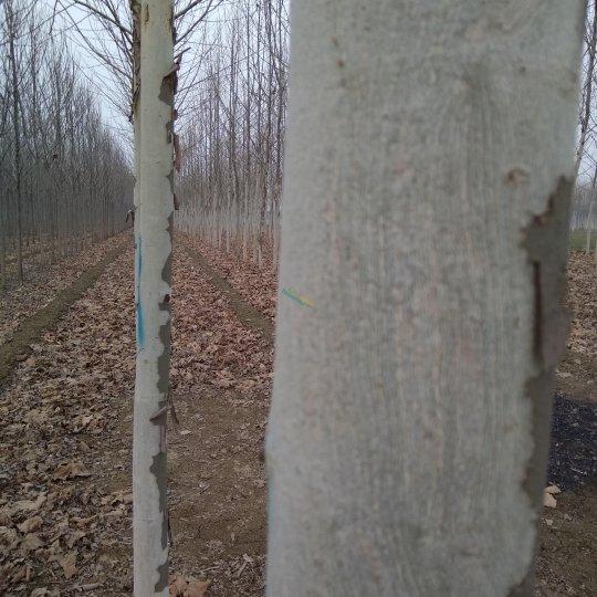 白腊树10公分