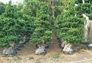 福建嫁接造型小叶榕桩头绿化树盆景