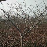 8---18公分精品山楂树