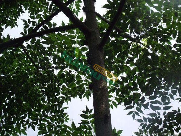 12公分的苦楝树