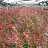3公分日本红枫 红枫价格