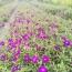 巴西野牡丹(紫牡丹))
