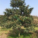 枇杷果树各规格 基地直销 专业高效