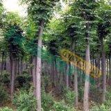 供应10cm的栾树