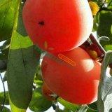 柿树苗 柿子树苗 柿树