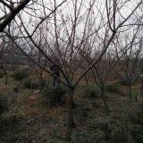出售杏树6--8公分