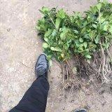 高度25公分海桐苗