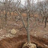 精品12公分柿树出售