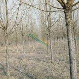 柳树8-12公分公分