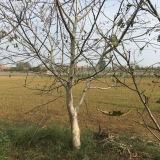 8公分核桃树