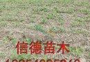 海沃德猕猴桃苗